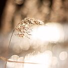 Golden Reed Bokeh by mariakallin