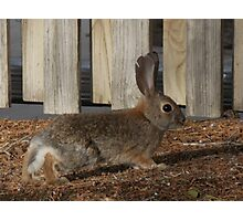 Bunny Sneaking Through the Yard Photographic Print