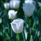 White Frilled Tulip by jayneeldred