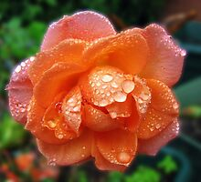 Orange Rose After Rain by kathrynsgallery
