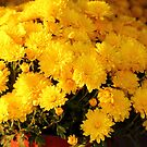 Yellow mums by henuly1