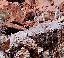 Black Footed Rock Wallabies by Bob Hardy