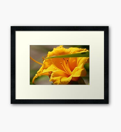 Asiatic Lily Framed Print