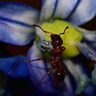 Ant on Siberian Squill  by Kane Slater