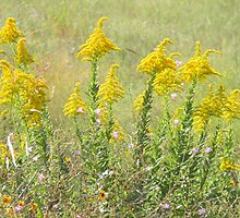 Guess What's Blooming? GOLDENROD! by Navigator