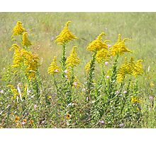 Guess What's Blooming? GOLDENROD! Photographic Print