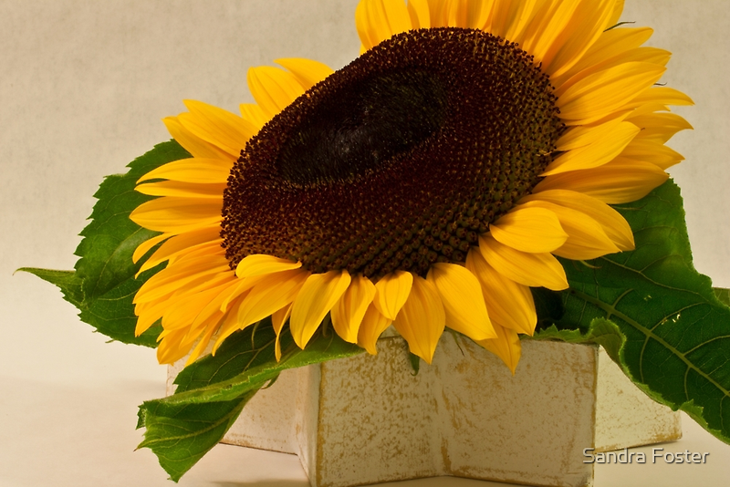 Short Petaled Sunflower In Star Box by Sandra Foster