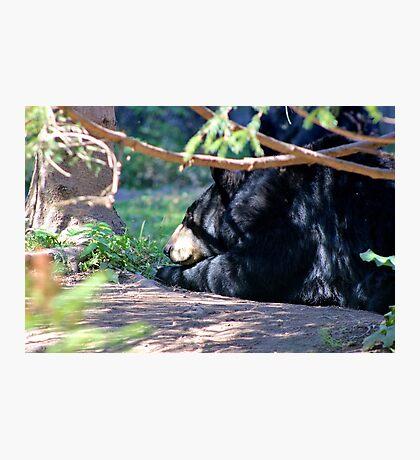North American Black Bear II Photographic Print