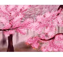 Blooming Sakura Trees Photographic Print