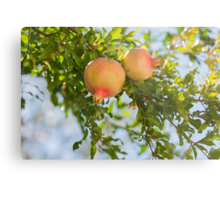 pomegranate on tree Metal Print