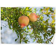 pomegranate on tree Poster
