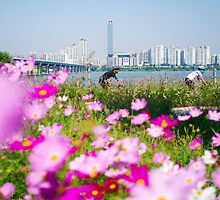 Cyclists and Cosmos by the Han River, Seoul by koreanrooftop