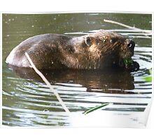 Resident beaver in Greenbelt Lake Poster