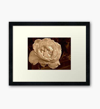 Sweet Sepia Rose Framed Print