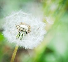 Dandelion (Rockies) by Camila Bruce Photography