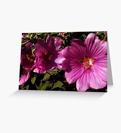 Lavatera - A Study in Pink Greeting Card