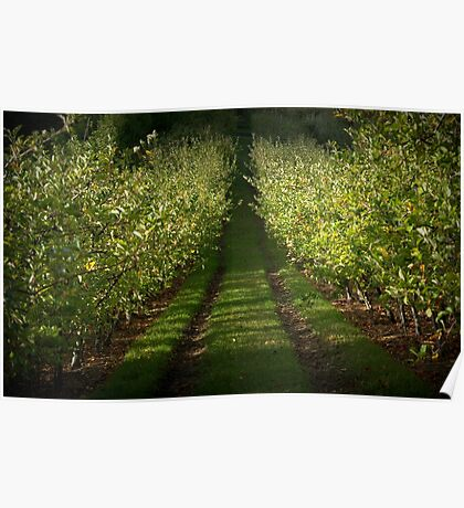 Apple Orchard, Lenswood. Poster