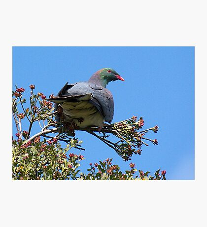 native New Zealand Pigeon........whatever tickles your fancy.....!! Photographic Print