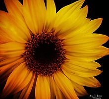 Sunflower by Amy Brown