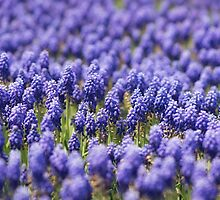A field of Grape Hyacinth's by carolynrauh