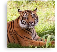 Watching Tiger Canvas Print