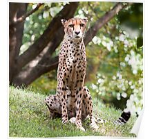 The Watching Cheetah Poster