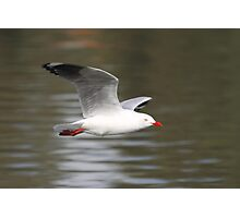 Silver Gull in Flight  Photographic Print