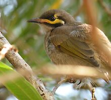 Yellow-faced Honeyeater by Trish Meyer