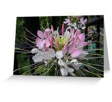 Flower (Cleome) in New York, USA Greeting Card