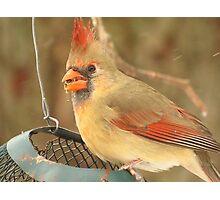 Breakfast With Mrs. Cardinal  Photographic Print