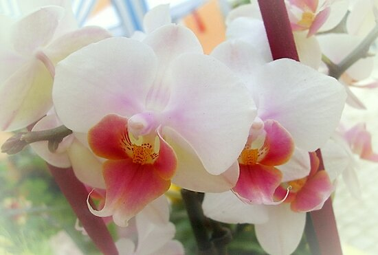 Orchids by Ana Belaj