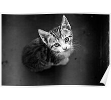Young cat in box close up Poster