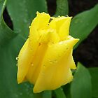 Yellow Tulip in the Rain .. photo by LoneAngel