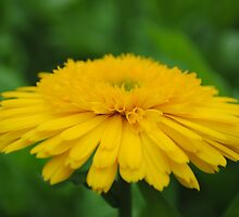 dandelion by Buzz1061