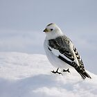 Snow bunting (Plectrophenax nivalis) by Marty Samis