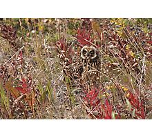 Short-eared owl (Asio flammeus) Photographic Print