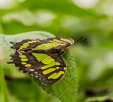 Butterfly - Black & Green by ncp-photography