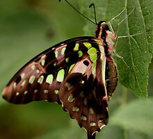 Butterfly - Pink Green Black by ncp-photography