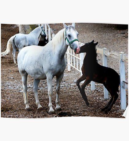 Joyful foal Poster