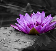 Purple Water Lily 002 Black and White Background by ValeriesGallery