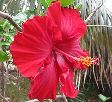 The Red Hibiscus Of Norfolk Island by AussieDigital