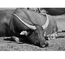Sleeping Buffalo Photographic Print