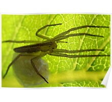 Grass Spider guarding her eggs Poster