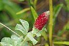 Wildflower - Crimson Clover - Trifolium incarnatum by MotherNature