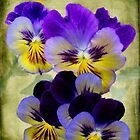 Winter Pansies by Diane Schuster
