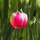 First Tulip by Yannik Hay