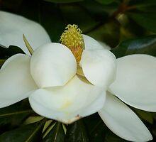 Soft Magnolia by ishotit4u
