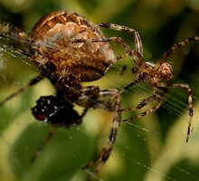 Garden Spider male approaches female by Kane Slater