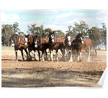 Beautiful Clydesdale Team.... ploughing ..... Poster