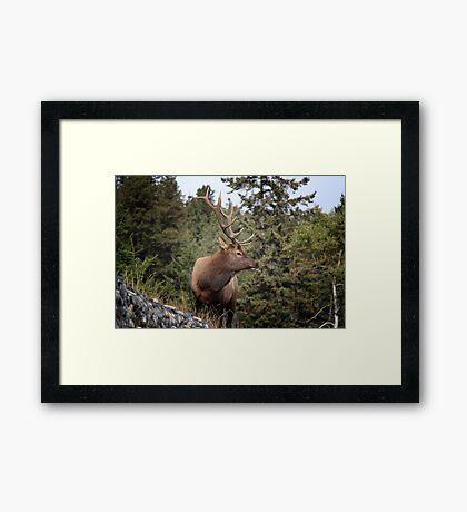 Bull Elk One Framed Print